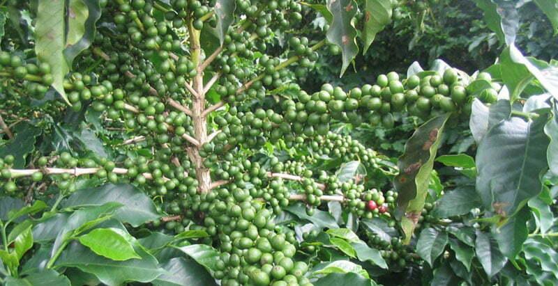 Mitos tentang sifat penurunan berat badan dari kopi hijau